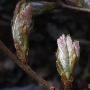 Photographie n°222786 du taxon Quercus pubescens Willd. [1805]