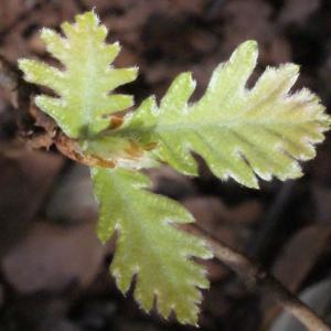 Photographie n°222787 du taxon Quercus pubescens Willd. [1805]