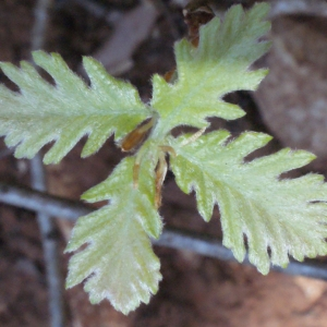 Photographie n°222788 du taxon Quercus pubescens Willd. [1805]