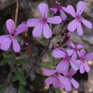 Photographie n°222790 du taxon Saponaria ocymoides L.