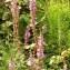 Alain Bigou - Lythrum salicaria L. [1753]