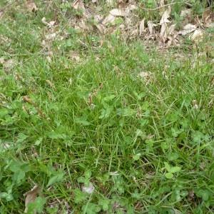 Photographie n°223108 du taxon Carex caryophyllea Latourr. [1785]