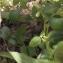Liliane Roubaudi - Symphytum tuberosum subsp. tuberosum