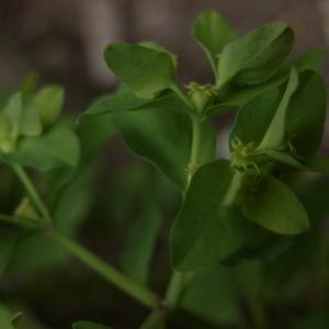 Photographie n°223217 du taxon Euphorbia peplus L. [1753]