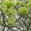 remi - Acer platanoides L.