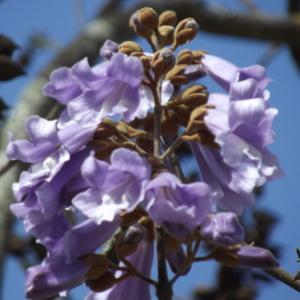 Paulownia tomentosa (Thunb.) Steud. (Paulownia)