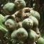 Jean-Claude Echardour - Eriobotrya japonica (Thunb.) Lindl. [1821]