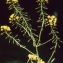 Liliane Roubaudi - Rorippa amphibia (L.) Besser