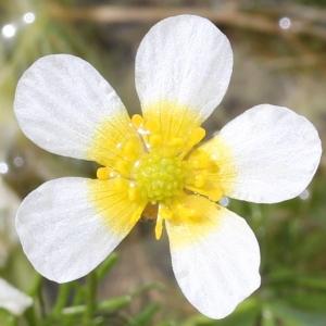 Photographie n°223321 du taxon Ranunculus baudotii Godr. [1840]