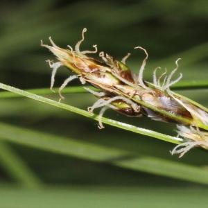 Carex divisa Huds. (Laiche à utricules bifides)