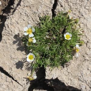 Photographie n°223368 du taxon Ranunculus baudotii Godr. [1840]