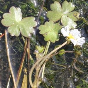 Photographie n°223369 du taxon Ranunculus baudotii Godr. [1840]