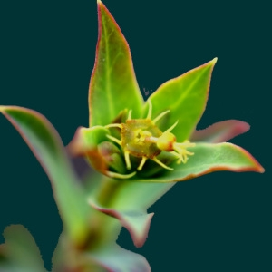 Euphorbia terracina L. [1762] (Euphorbe de Terracine)