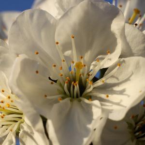 Prunus x gondouinii (A.Poit. & Turpin) Rehder [1946] (Duke Cherry)