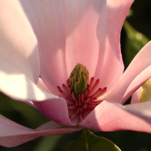 - Magnolia liliiflora Desr. [1792]