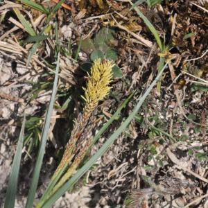 Photographie n°223752 du taxon Carex flacca Schreb. [1771]