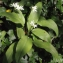 Liliane Roubaudi - Allium ursinum L.