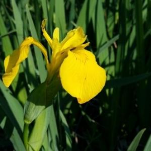 Photographie n°223926 du taxon Iris pseudacorus L. [1753]