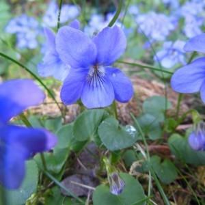 Photographie n°223968 du taxon Viola riviniana Rchb.