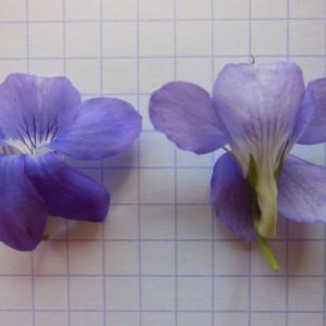 Photographie n°223971 du taxon Viola riviniana Rchb.