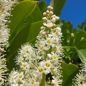 Prunus laurocerasus L. (Laurier-cerise)
