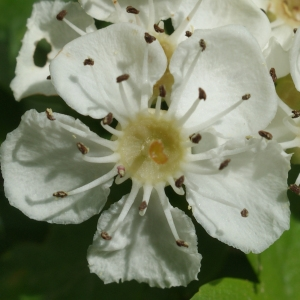 Crataegus monogyna Jacq. subsp. monogyna (Aubépine à un style)