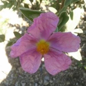 Photographie n°224106 du taxon Cistus albidus L. [1753]