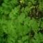 Quentin Lebastard - Chaerophyllum temulum L. [1753]
