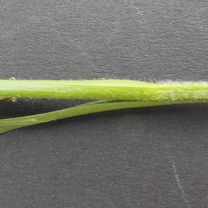 Photographie n°224293 du taxon Carex hirta L. [1753]
