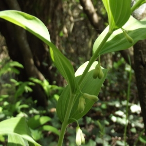 Photographie n°224321 du taxon Polygonatum multiflorum (L.) All. [1785]