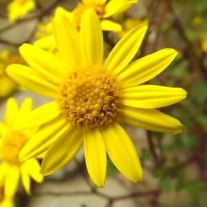 Jacobaea erratica (Bertol.) Fourr. (Séneçon à feuilles de barbarée)