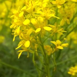Sisymbrium austriacum Jacq. (Sisymbre d'Autriche)