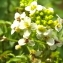 Florent Beck - Nasturtium officinale