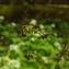 Florent Beck - Luzula sylvatica
