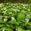 Florent Beck - Allium ursinum