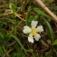 Florent Beck - Potentilla montana Brot. [1804]