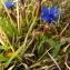 Florent Beck - Gentiana verna subsp. verna