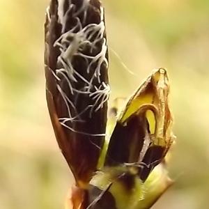 Carex montana L. (Laiche des montagnes)