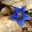 Florent Beck - Gentiana acaulis