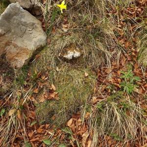 Photographie n°224608 du taxon Narcissus pseudonarcissus L. [1753]