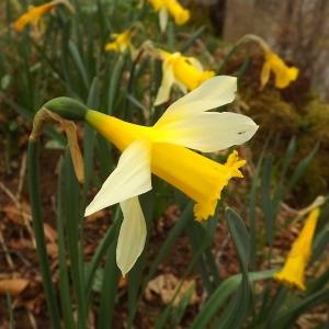 Photographie n°224614 du taxon Narcissus pseudonarcissus L. [1753]