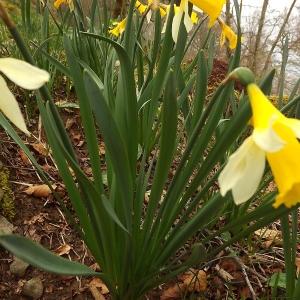 Photographie n°224621 du taxon Narcissus pseudonarcissus L. [1753]
