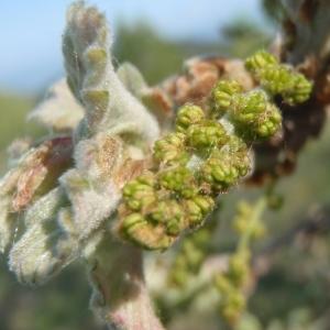 Photographie n°224688 du taxon Quercus pubescens Willd. [1805]