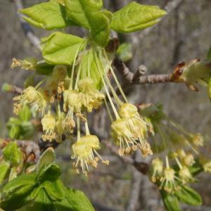 Photographie n°224744 du taxon Acer monspessulanum L. [1753]