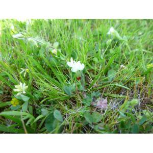 Trifolium subterraneum L. subsp. subterraneum var. subterraneum