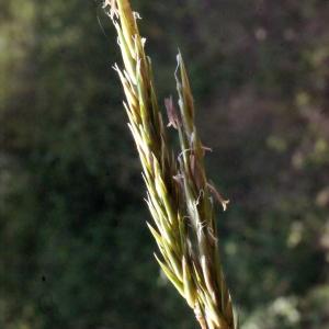 Photographie n°224865 du taxon Anthoxanthum odoratum L.