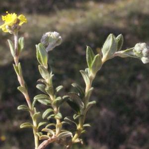 Photographie n°224889 du taxon Helianthemum canum (L.) Baumg. [1816]