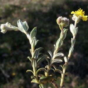 Photographie n°224891 du taxon Helianthemum canum (L.) Baumg. [1816]