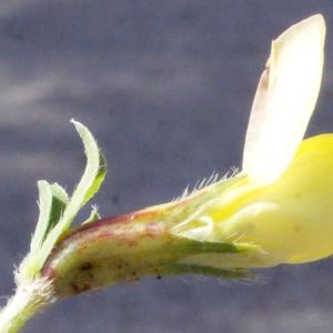 Photographie n°224901 du taxon Lotus maritimus L. [1753]