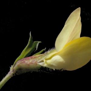 Photographie n°224902 du taxon Lotus maritimus L. [1753]